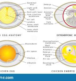 chicken egg anatomy chicken egg structure on a white background cross section of bird embryo inside egg  [ 1600 x 1008 Pixel ]