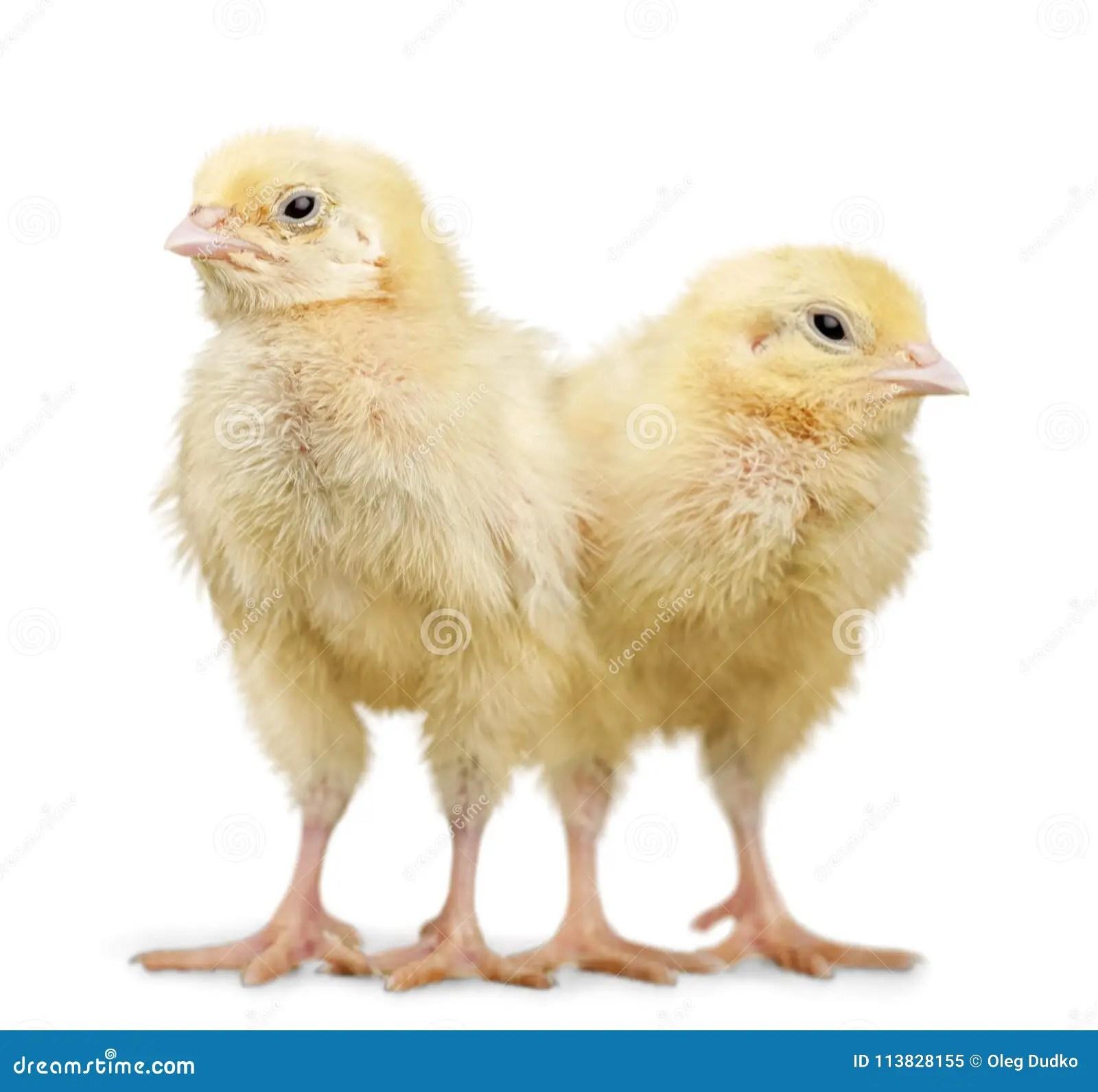 chicks baby chicken stock