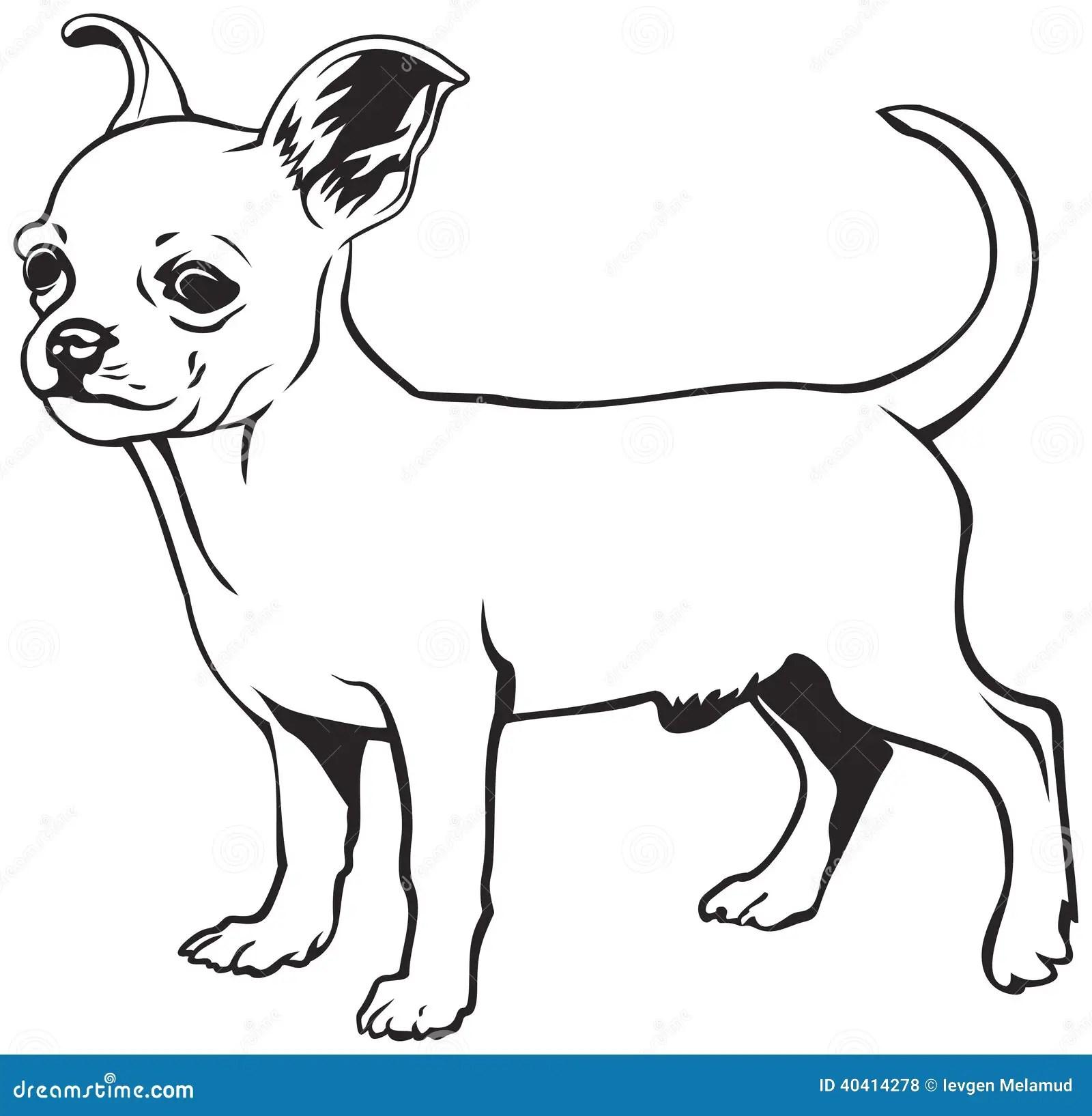 Baby Maltese Puppies