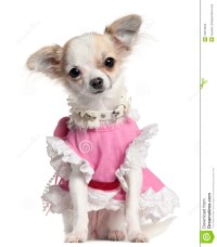 Chihuahua Puppy In Pink Dress Stock Photos