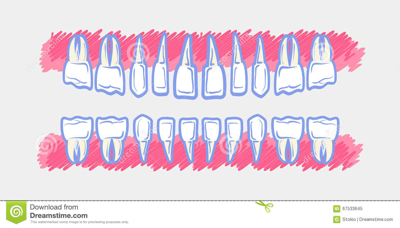 hight resolution of children teeth anatomy panoramic dental scan teeth child s upper and lower jaws of baby s skull