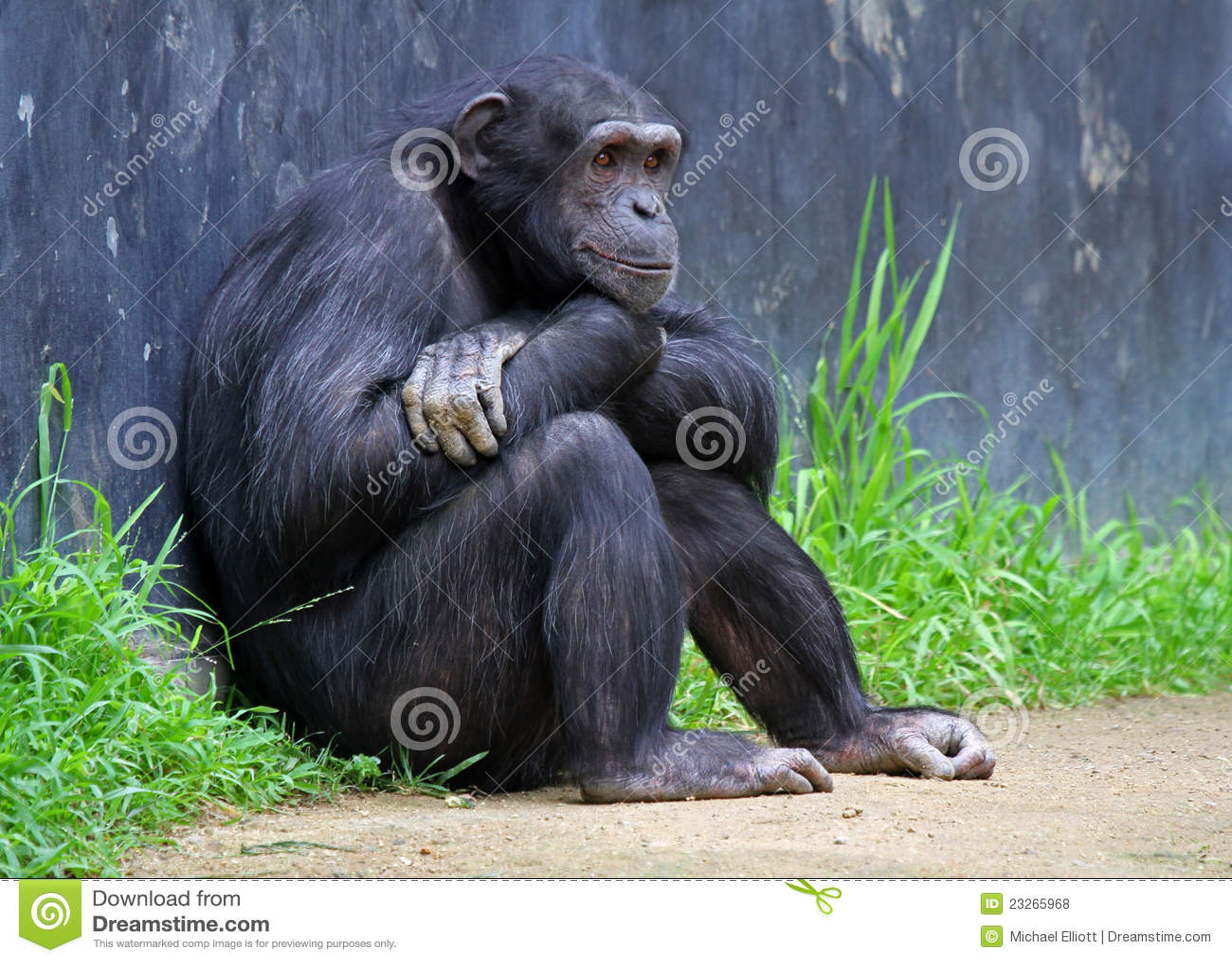 chimpanzee skull diagram 98 honda accord alarm wiring body get free image about