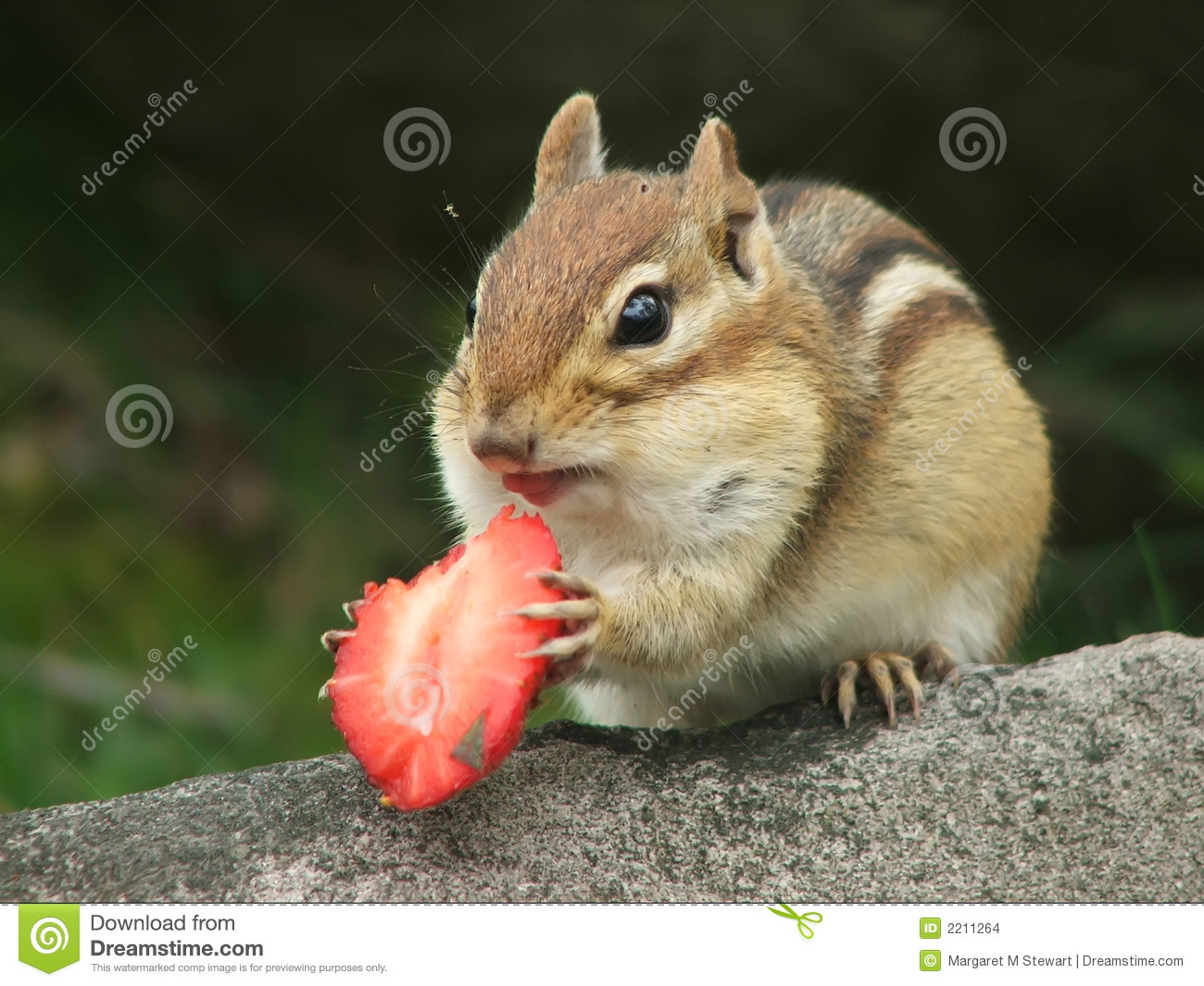 Cute Couple Cartoon Wallpaper Download Chipmunk With Strawberry Stock Images Image 2211264