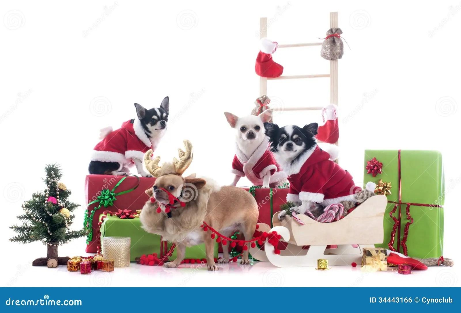Christmas Chihuahuas Royalty Free Stock Image Image