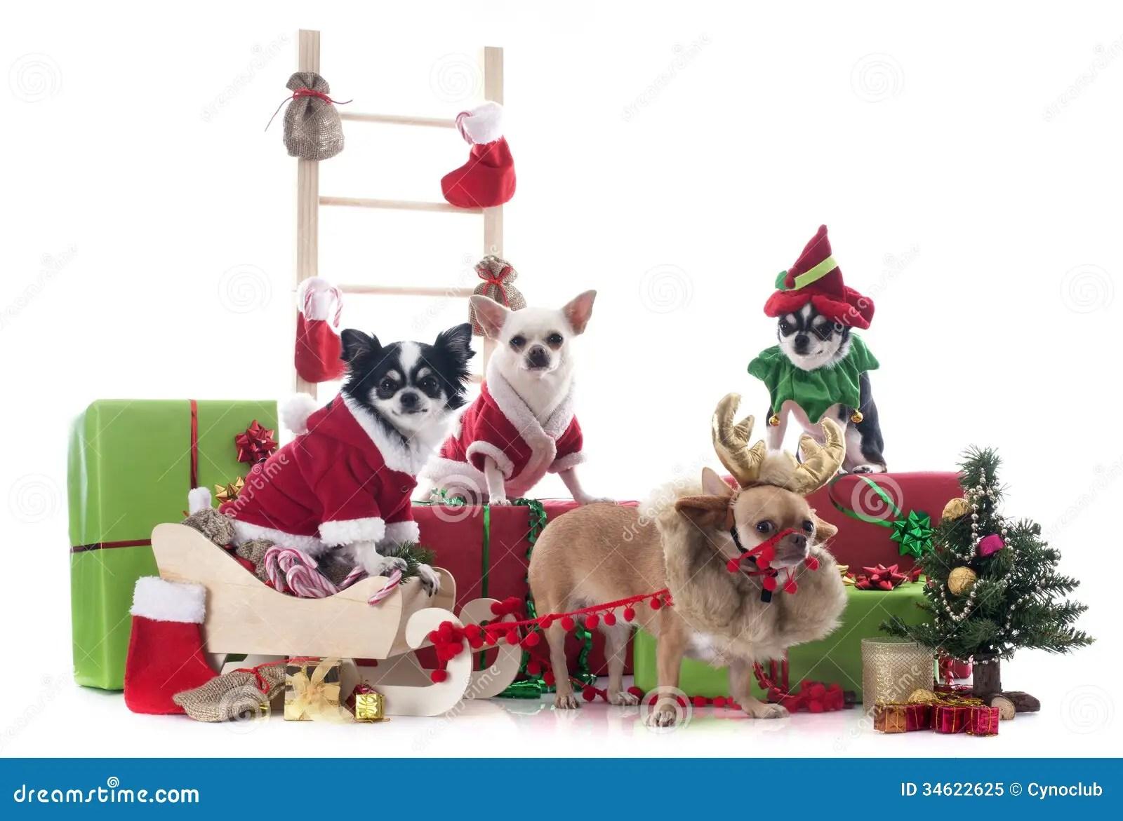 Christmas Chihuahuas Royalty Free Stock Photo Image