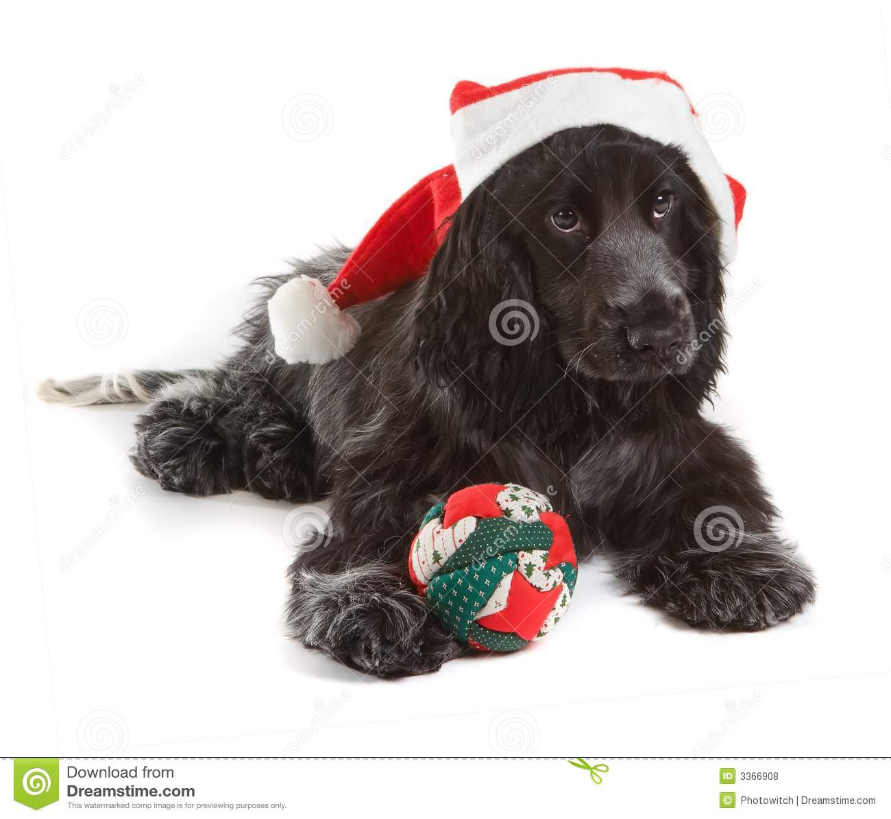 Christmas Cocker Royalty Free Stock Photos Image 3366908