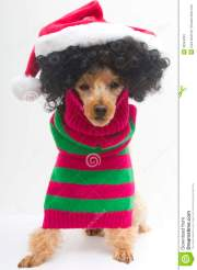 christmas curly haired pooch