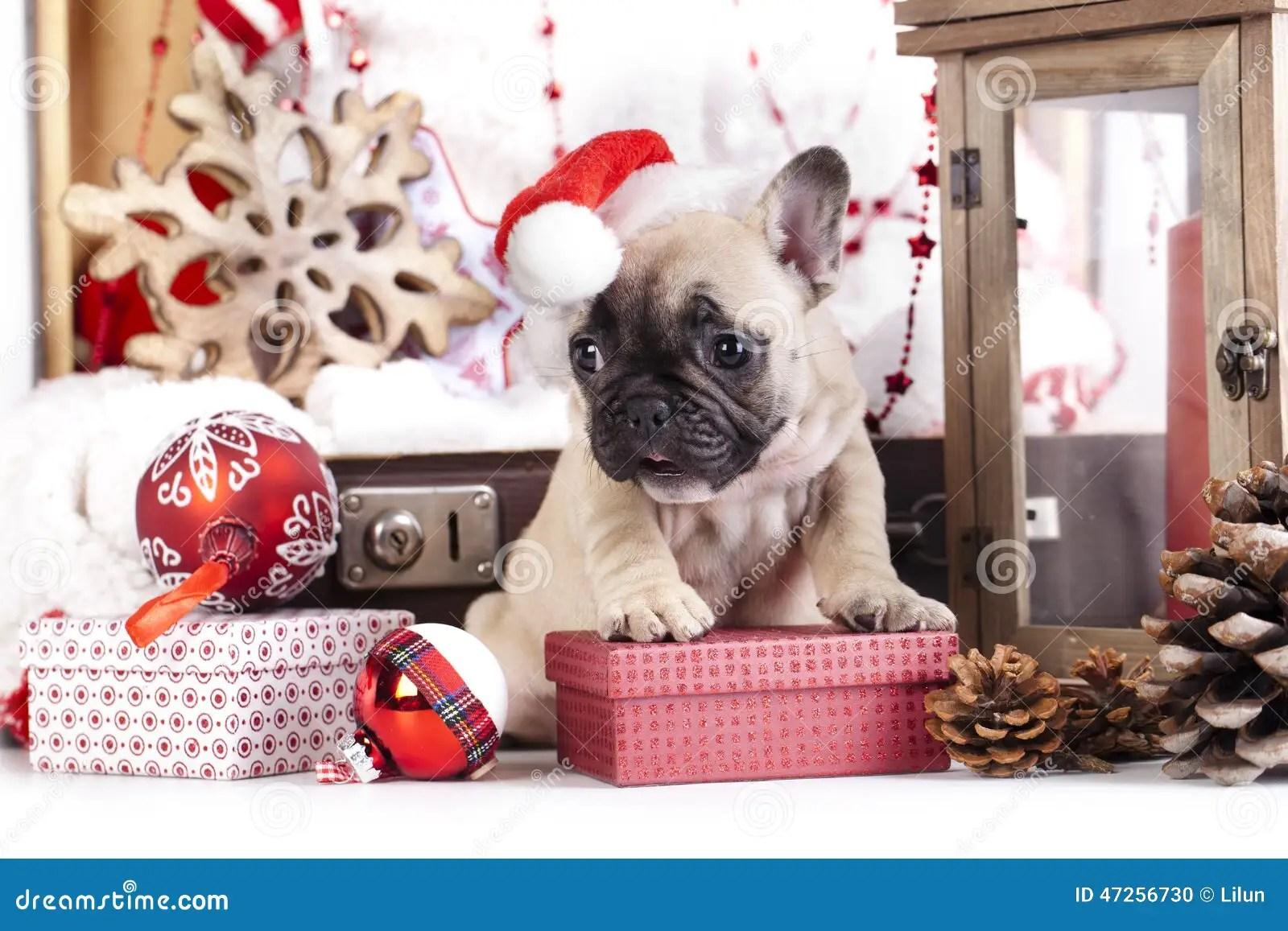 Christmas French Bulldog Stock Photo Image 47256730