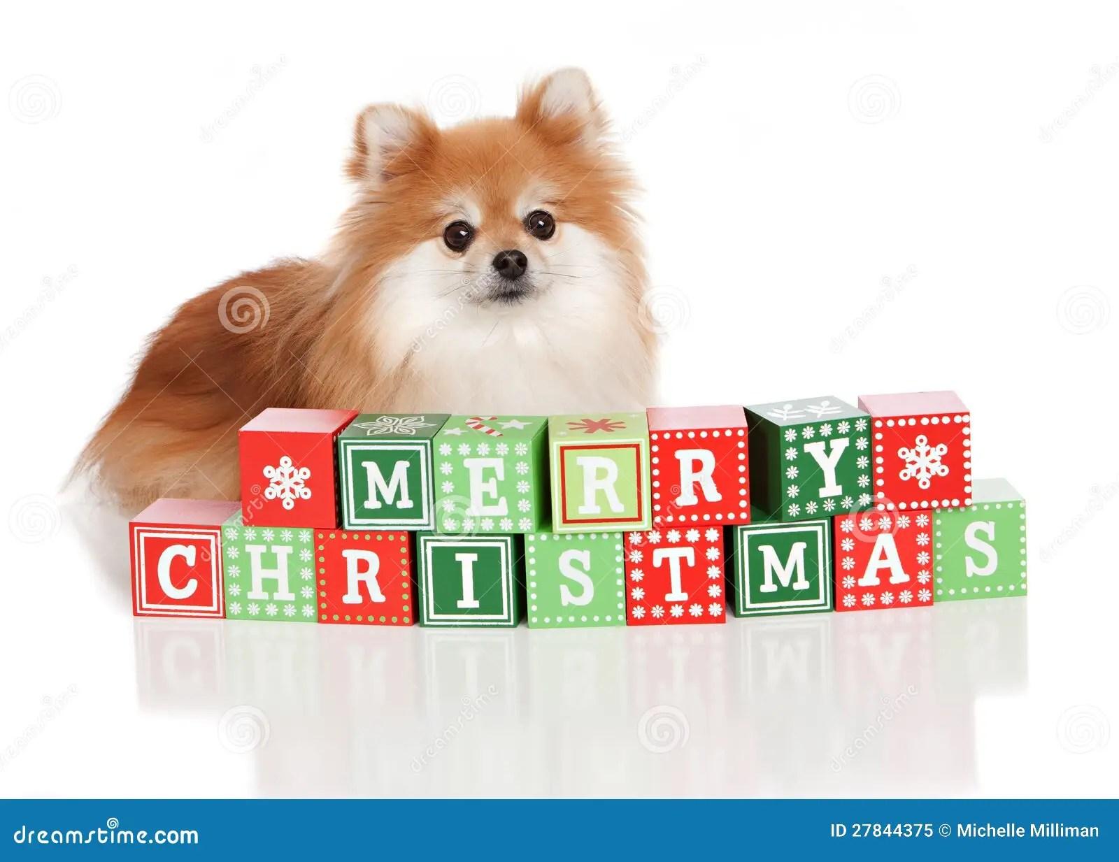 Christmas Pomeranian Royalty Free Stock Photo Image
