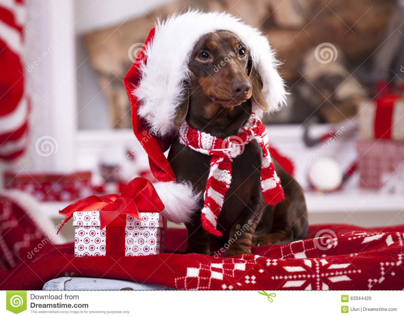Cute Dachshund Wallpaper Christmas Puppy Stock Photo Image Of Dogs Gift