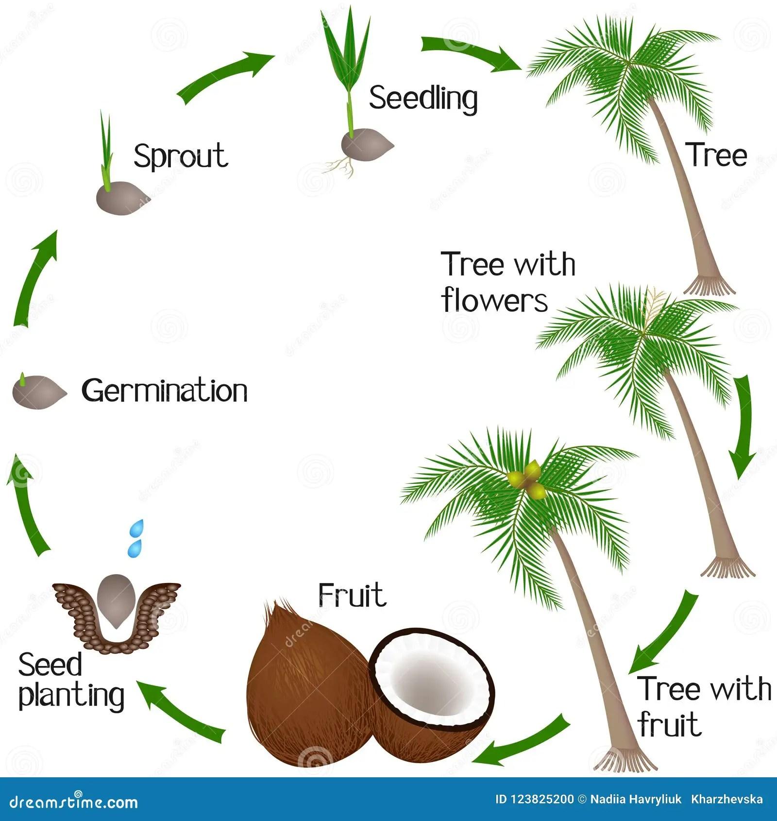 Ciclo De Un Crecimiento Vegetal Del Coco Aislado En El