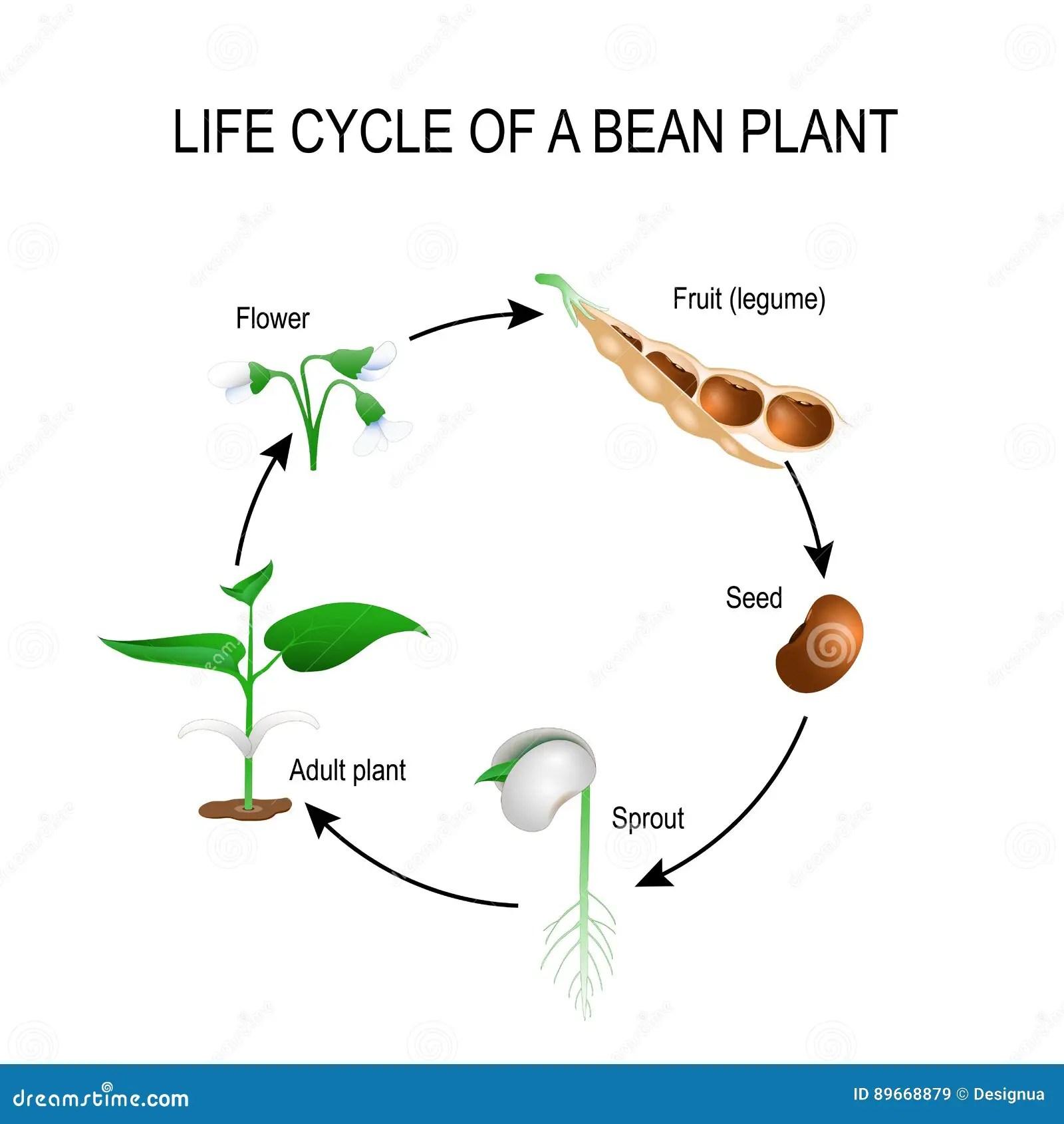 Ciclo De Vida De Una Planta De Haba Ilustracion Del Vector
