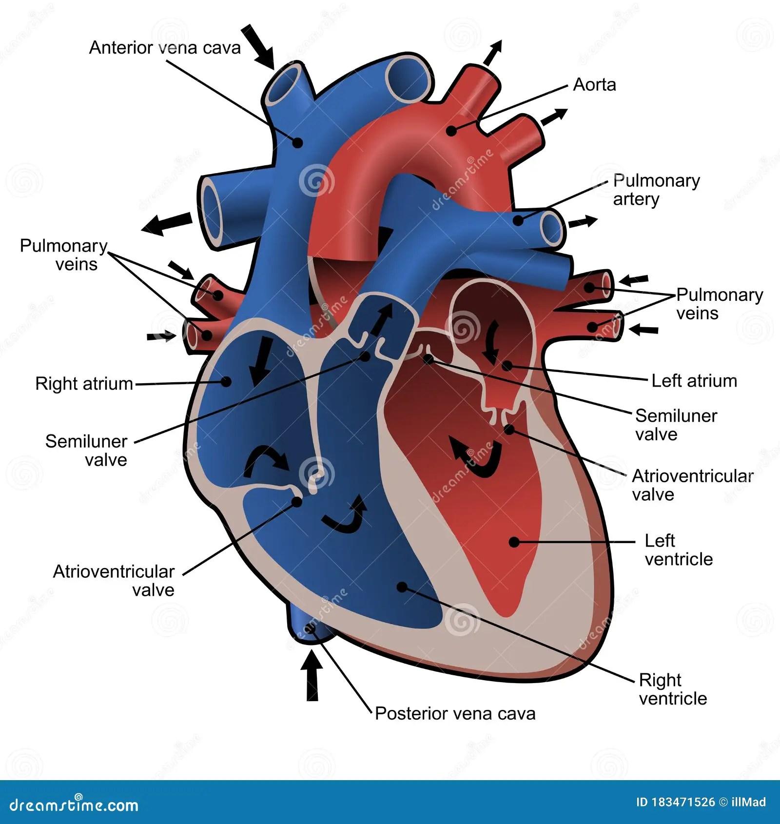 Blood Flow Of The Heart Diagram Cartoon Vector