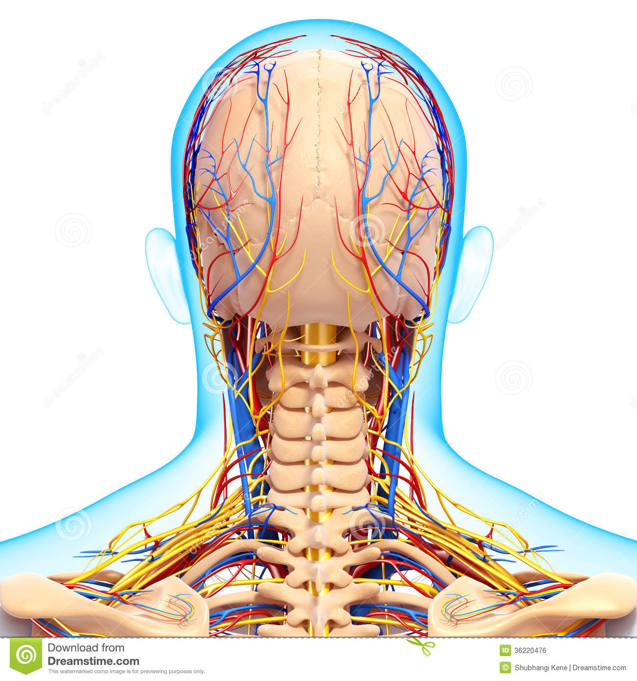 diagram of human cartoon the12volt com wiring circulatory and nervous system brain stock illustration - image: 36220476