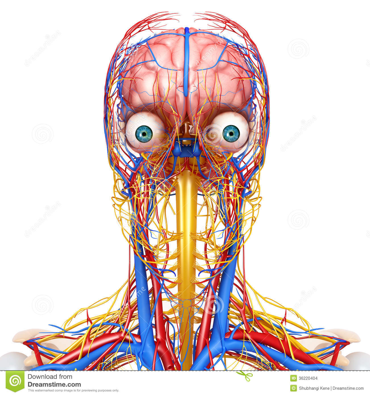 hight resolution of 3d art illustration of circulatory and nervous system of head