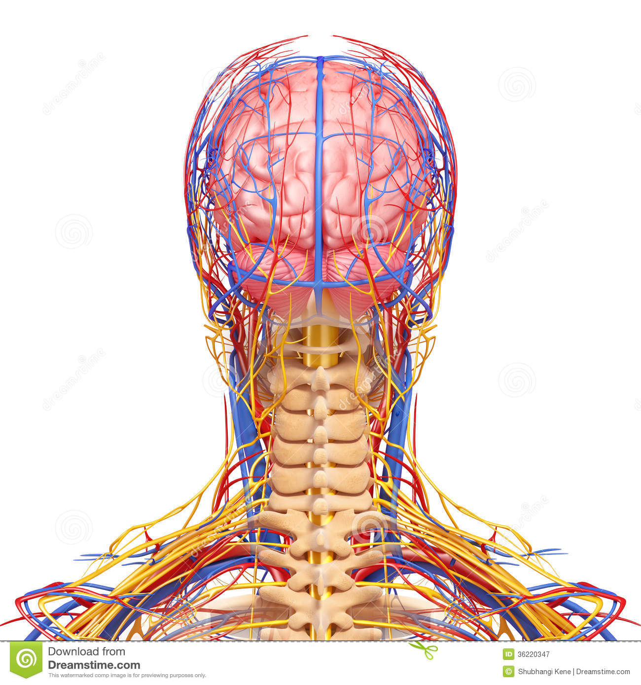 hight resolution of 3d art illustration of circulatory and nervous system of male head