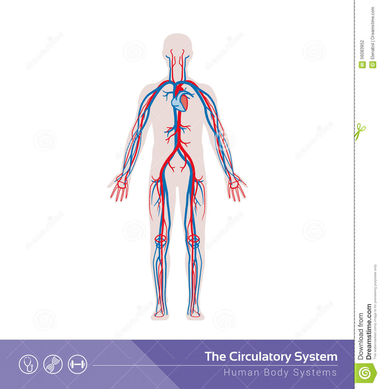 The Circulatory System Stock Vector