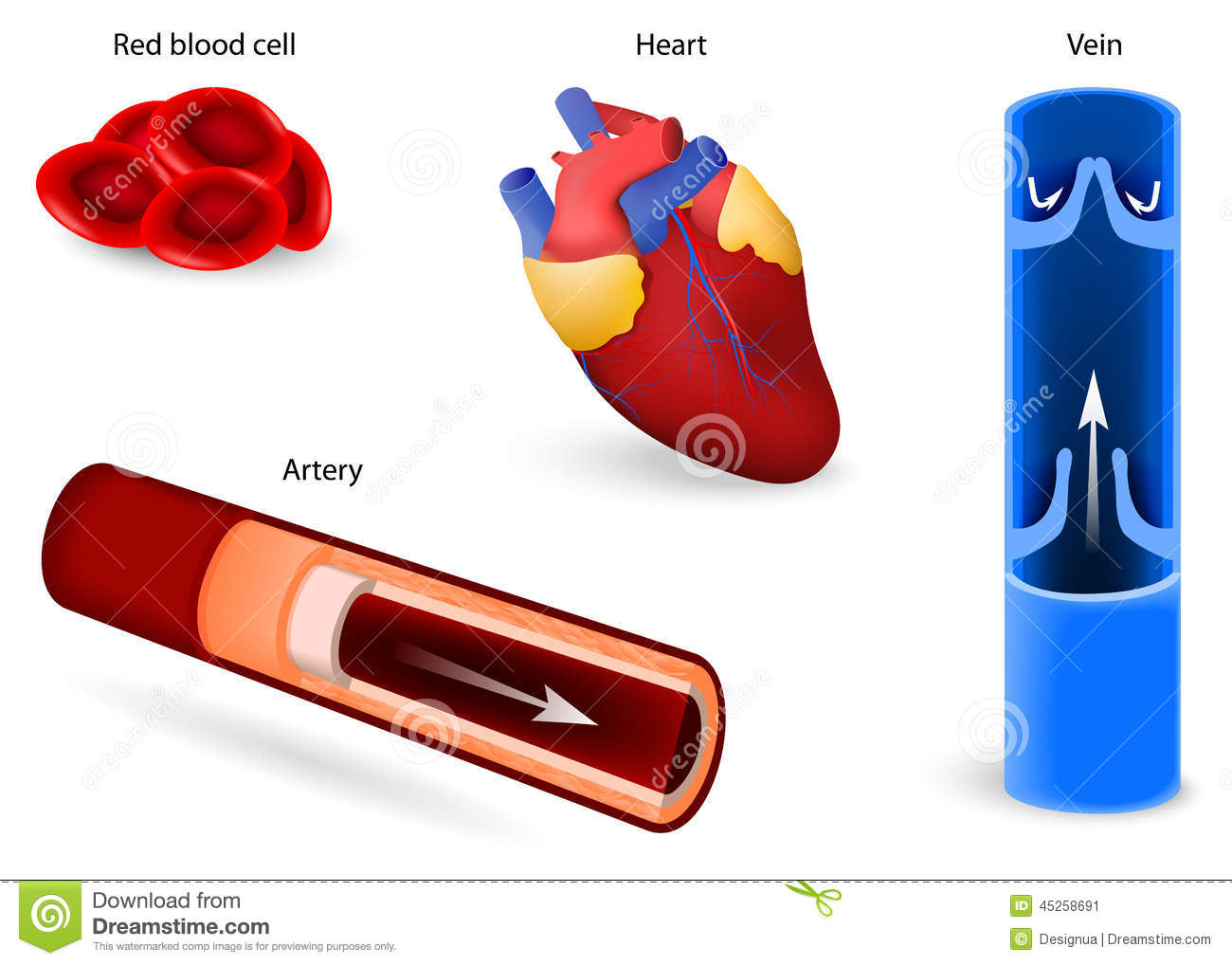 Cardiovascular System Diagram Cake Ideas And Designs