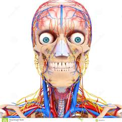 Realistic Heart Diagram 2005 Jeep Tj Stereo Wiring Circulatory System Of Human Head Royalty Free Stock Photo - Image: 36222915