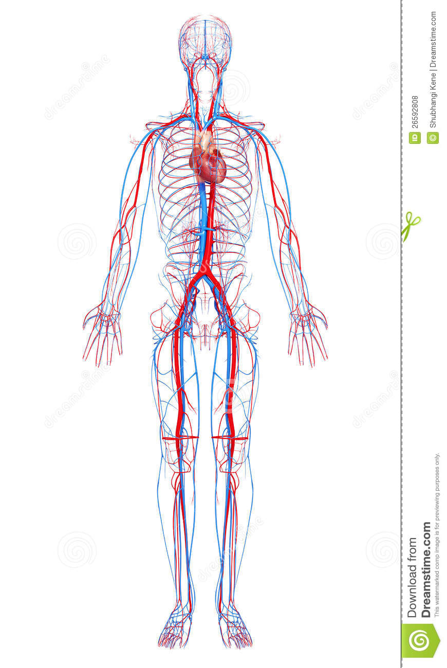 hight resolution of circulatory system of male body
