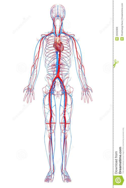 small resolution of circulatory system of male body