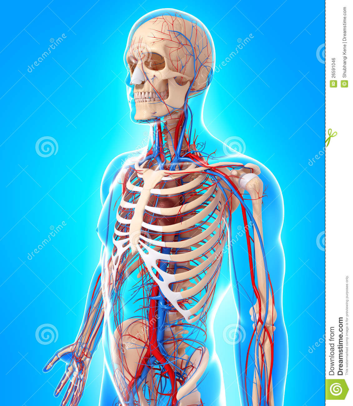 Circulatory System Of Male Body Side View Royalty Free