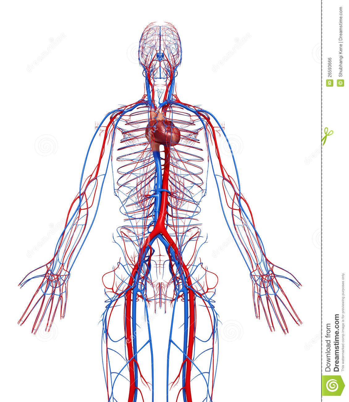 Circulatory System Of Male With Heart Stock Illustration
