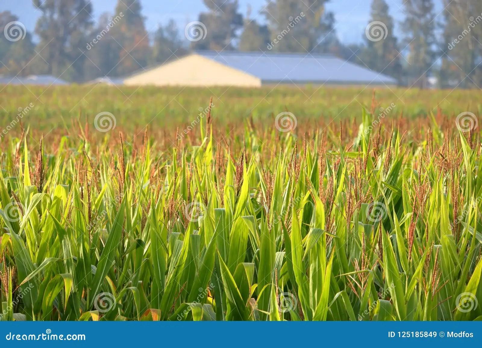 fall corn stock view