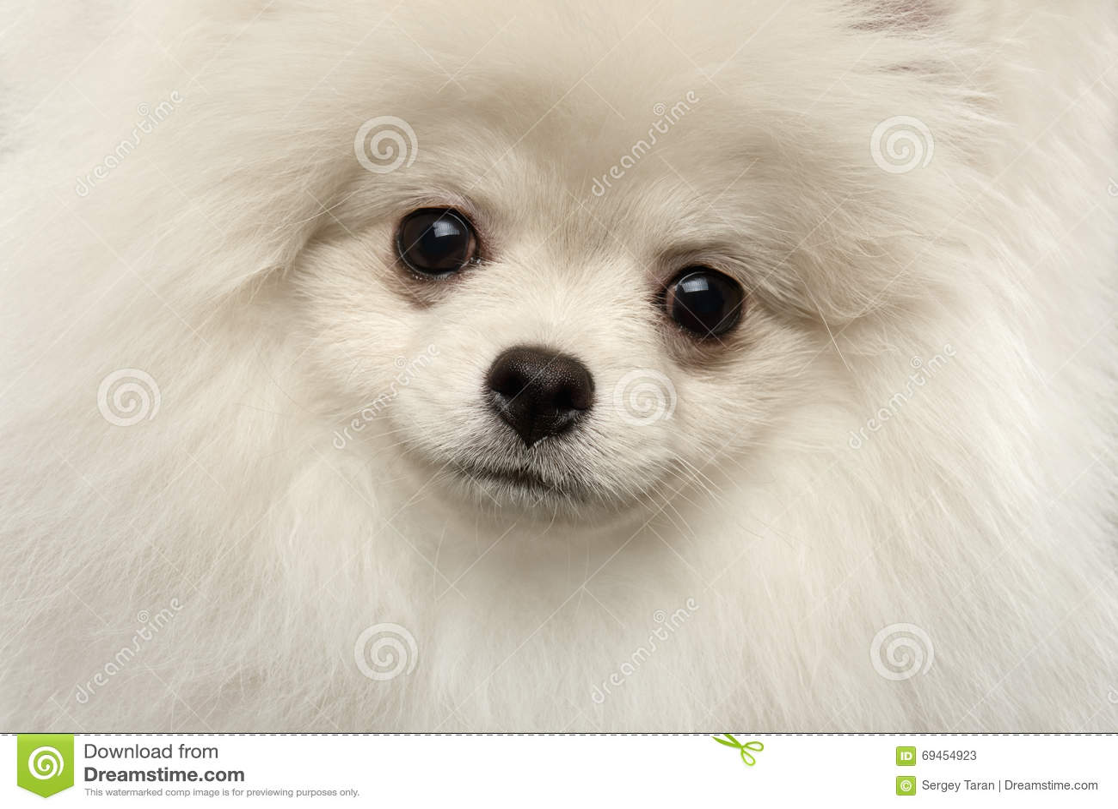 Cute Puppy Images Wallpaper Fluffy Closeup Furry Cute White Pomeranian Spitz Dog Funny