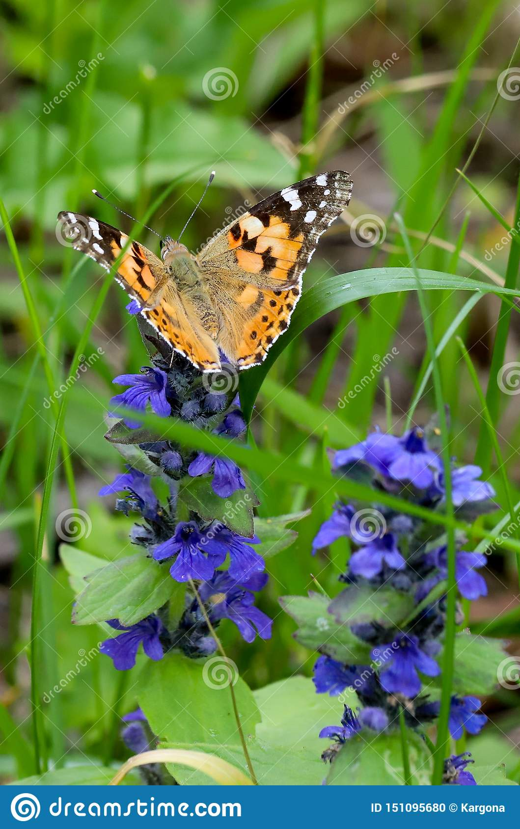 The Painted Lady Butterfly Vanessa Cardui Using Its