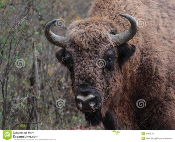 Closeup To A Male European Bison In The Autumn For Stock