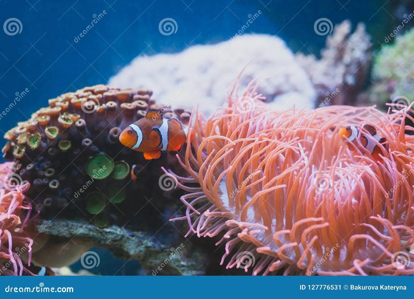 clown fish and sea