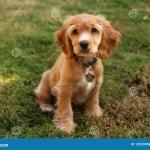 Cocker Spaniel Puppy In Sunlight Stock Photo Image Of Good Doggie 12033968