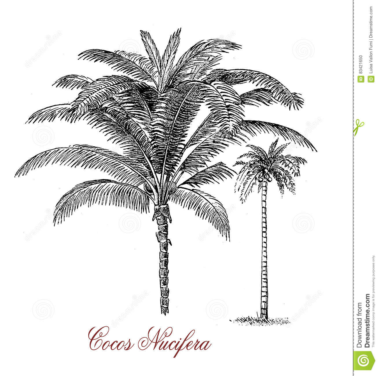 Coconut Tree Botanical Vintage Engraving Stock