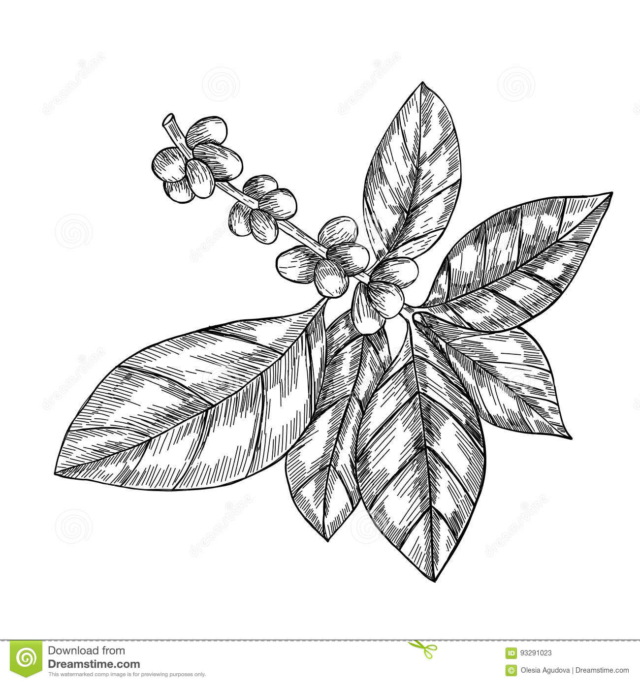 Coffee Branch With Leaf Berry Coffee Bean Fruit Seed