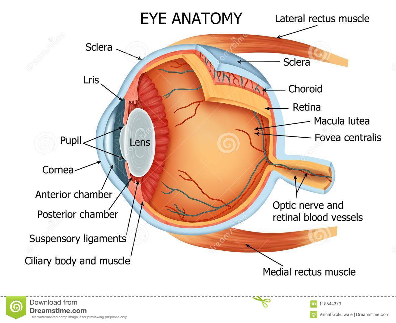 hight resolution of color illustration of the anatomy of the human eye and related structures right eye from above
