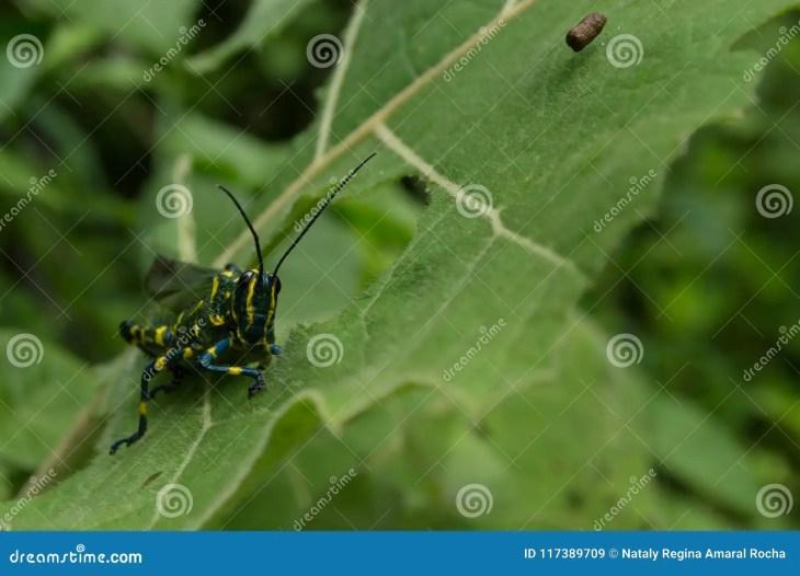 Beautiful colorful grasshopper colorful eating sheet