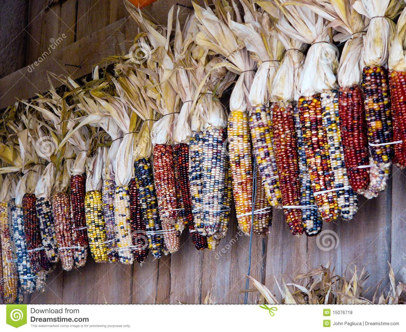 Fall Barn Wallpaper Colorful Indian Corn Hanging On Wooden Wall Stock Photo