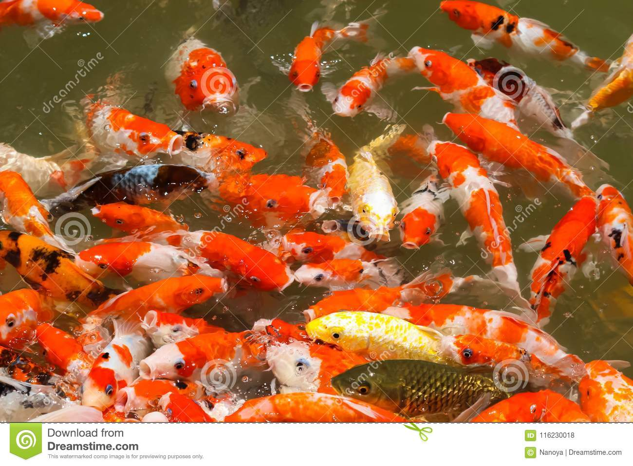 colorful koi fish feeding