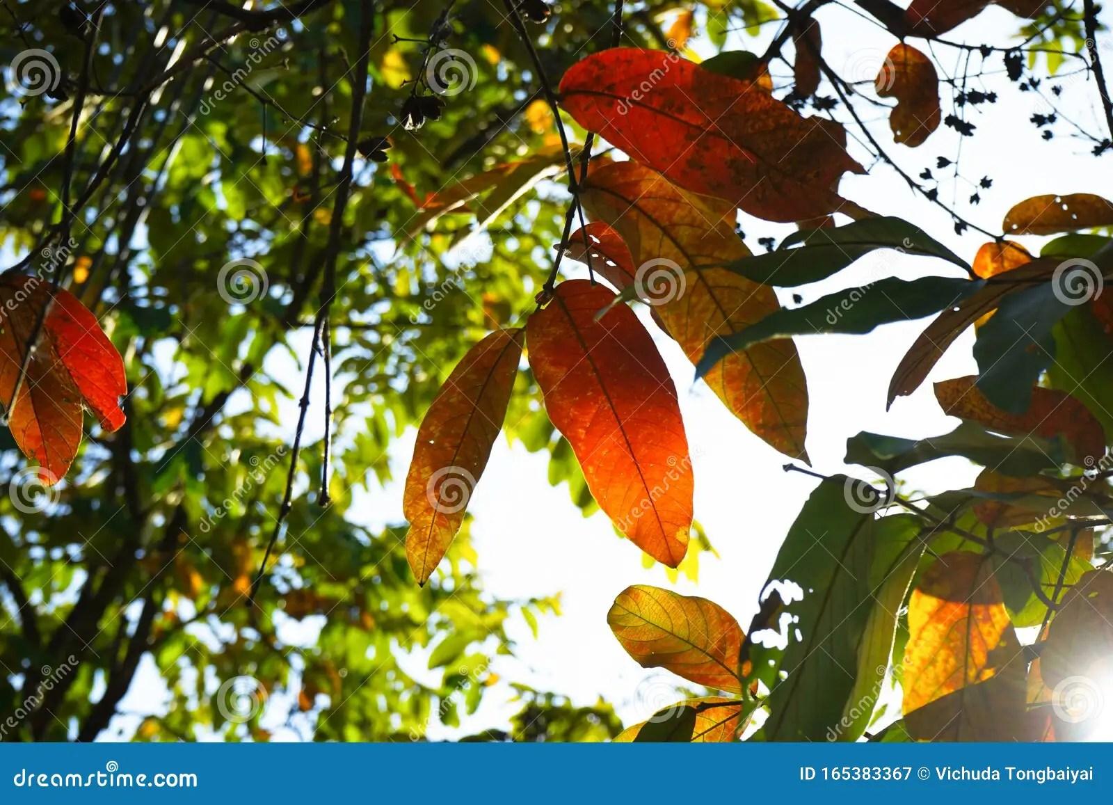 Colorful Leaves Season Change Beautiful Color On Tree