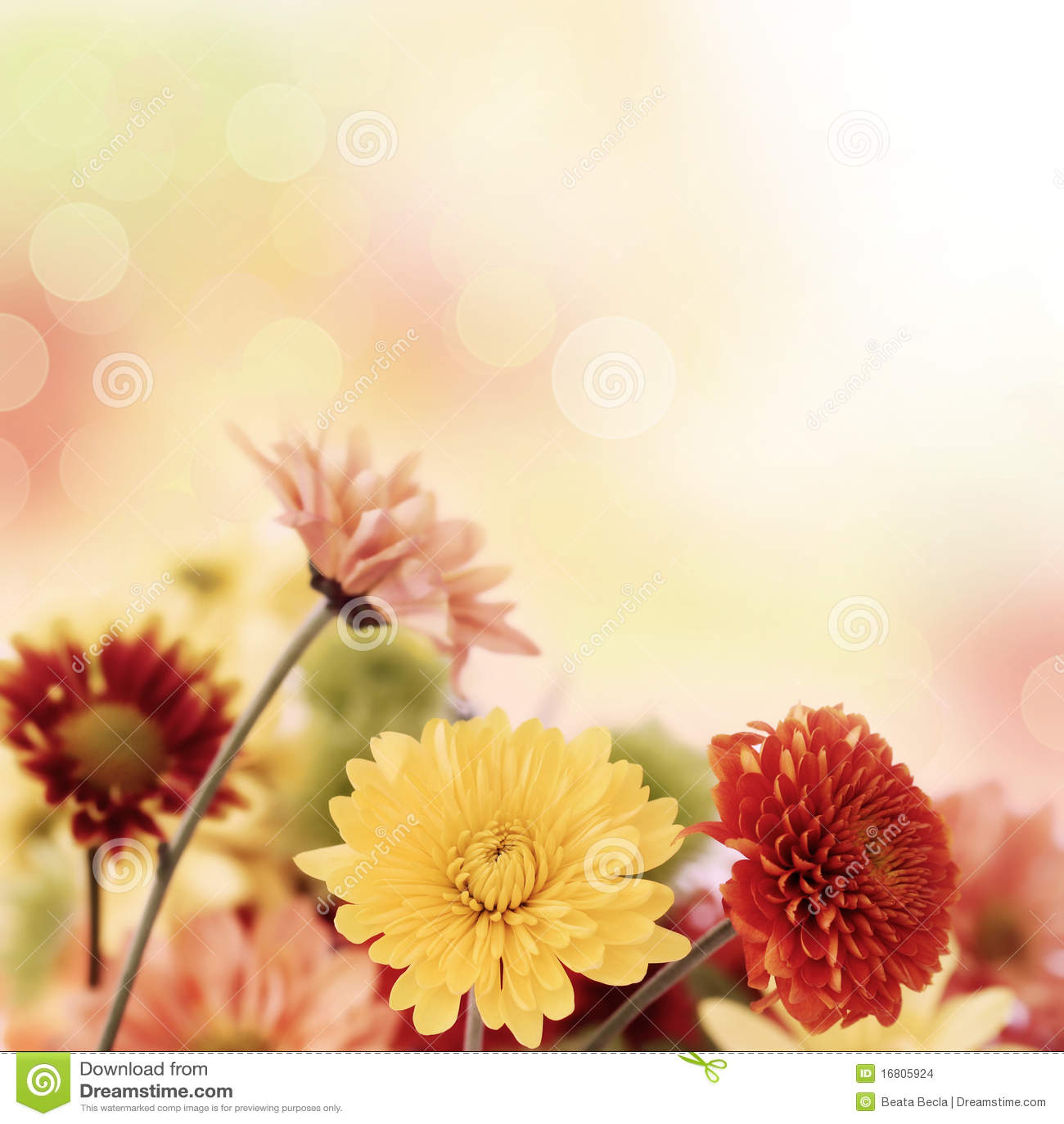 Pretty Fall Desktop Wallpaper Colorful Mums Flowers On Warm Bokeh Background Stock