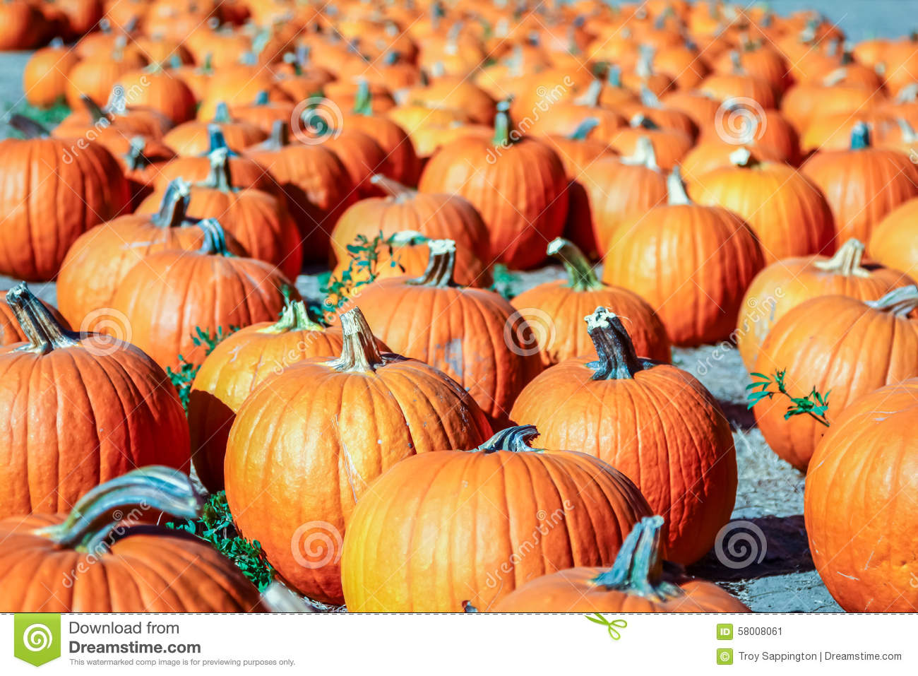 Vegetable Garden In Fall Wallpaper Colorful Orange Pumpkins In A Pumpkin Patch Ready For