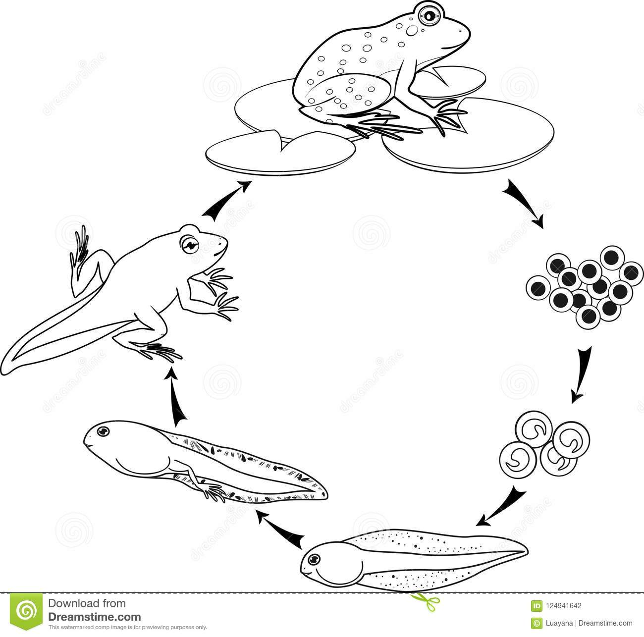 Coloring Page Life Cycle Of Frog Stock Vector
