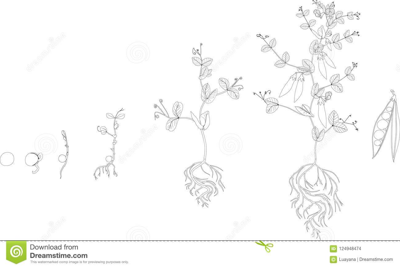Coloring Page. Life Cycle Of Pea Plant. Stages Of Pea