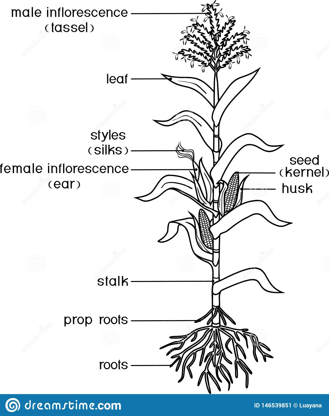 Coloring Page With Parts Of Plant Morphology Of Corn
