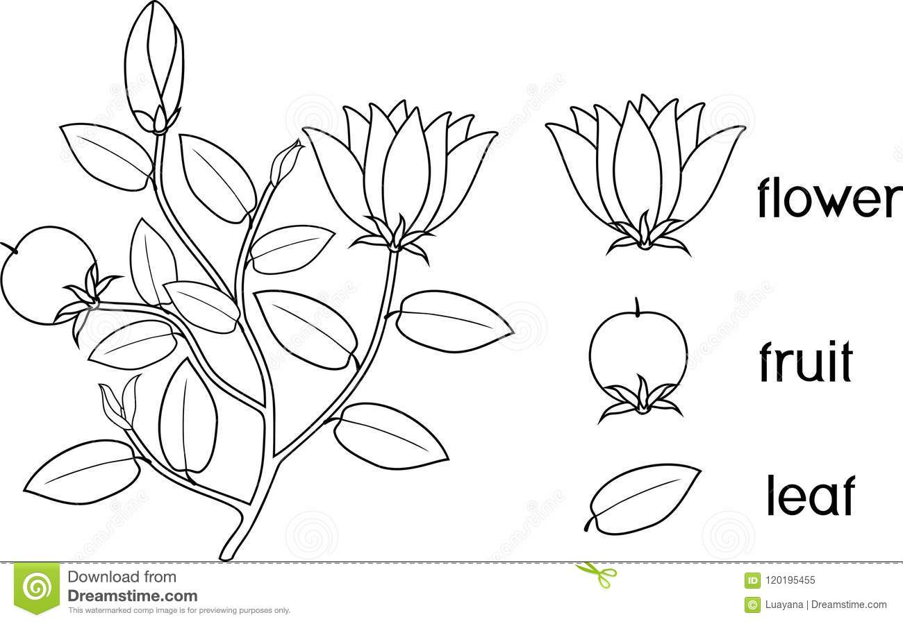Coloring Page Parts Of Plant Morphology Of Flowering