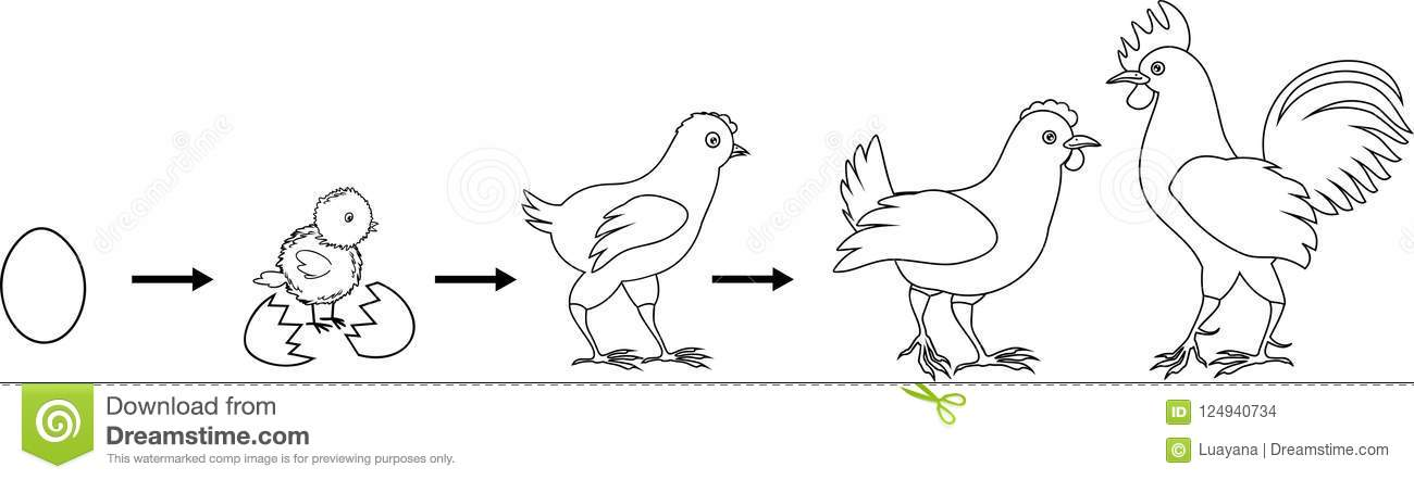 Coloring Page. Stages Of Chicken Growth From Egg To Adult