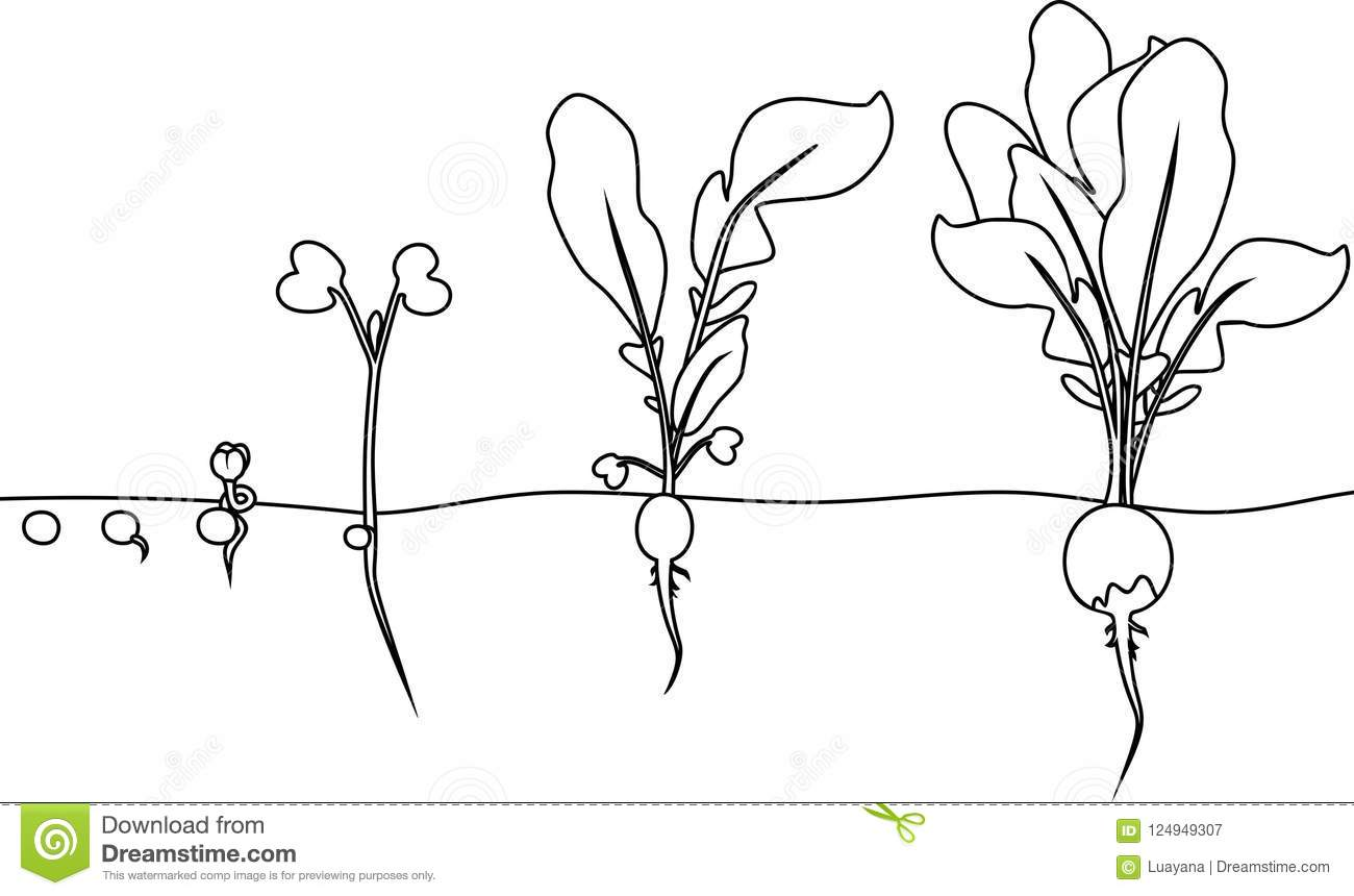 Coloring Page. Stages Of Radish Growth From Seed And