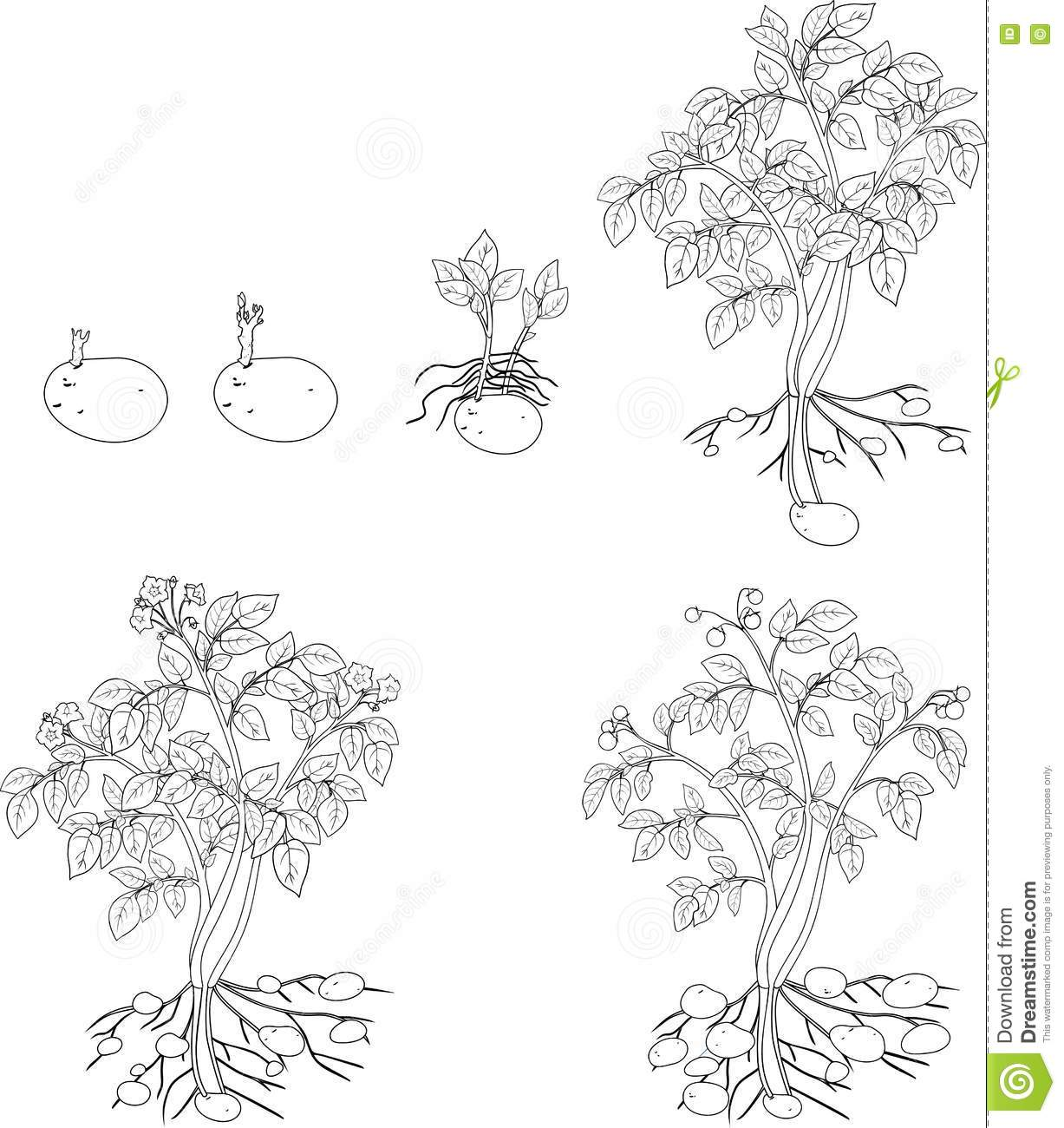 Coloring With Potato Plant Growth Cycle Cartoon Vector