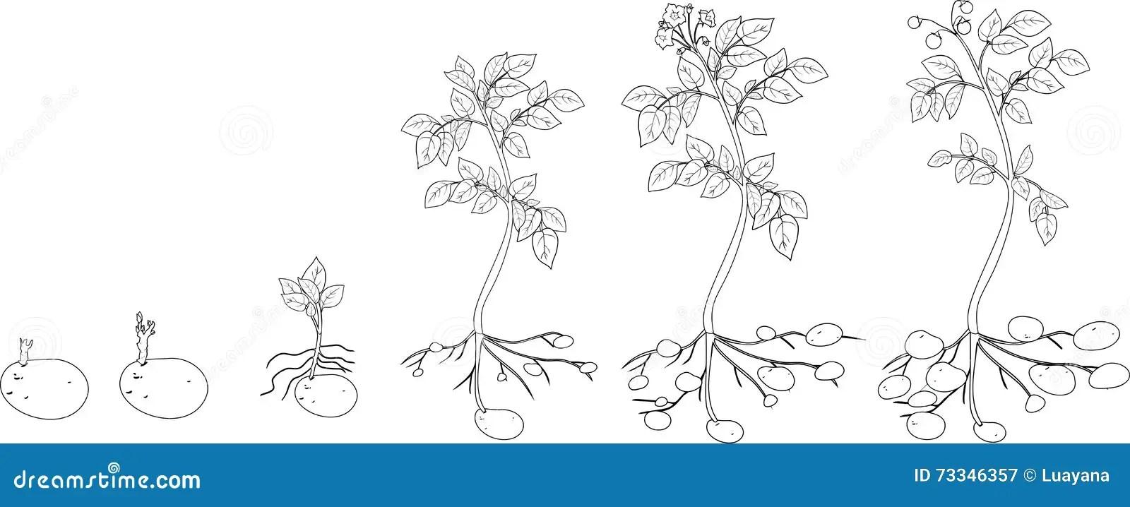 Coloritura Con Il Ciclo Di Crescita Della Pianta Di Patate